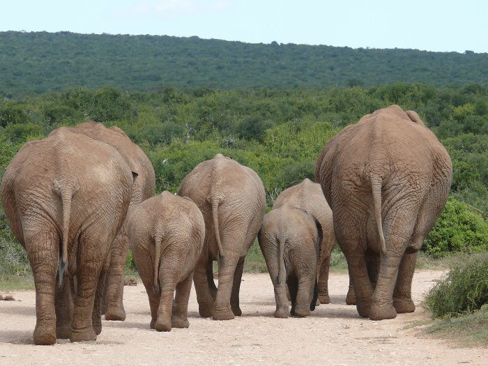African elephants marching on the main road, Addo