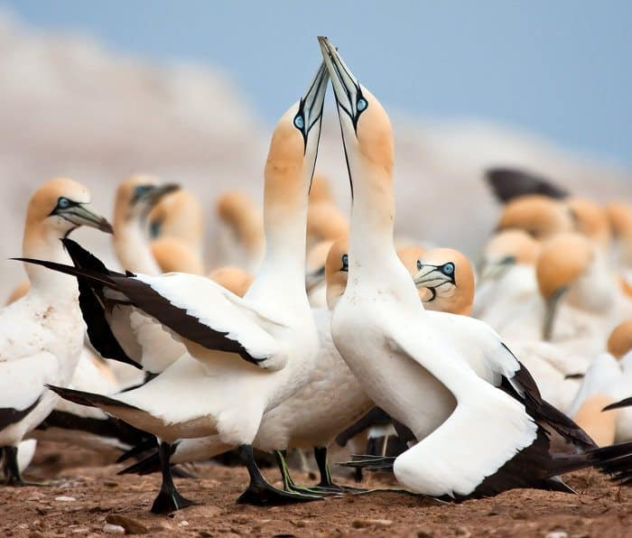 Addo is a refuge to the world's largest Cape gannet breeding population