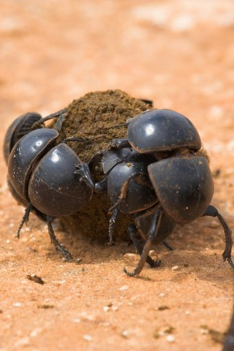You'll likely encounter dung beetles busying themselves on the Addo park's dirt road