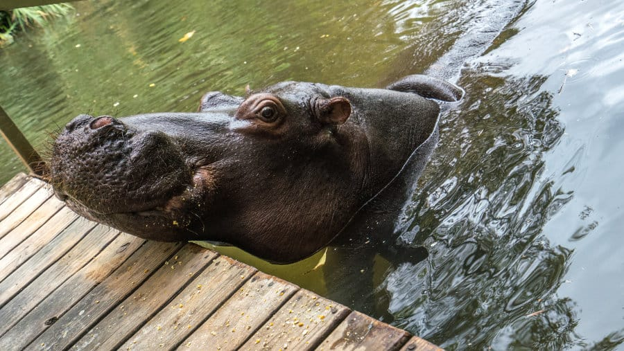 A very unusual pet: Jessica the hippo