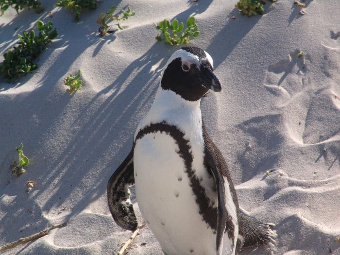 An African penguin in Cape Town