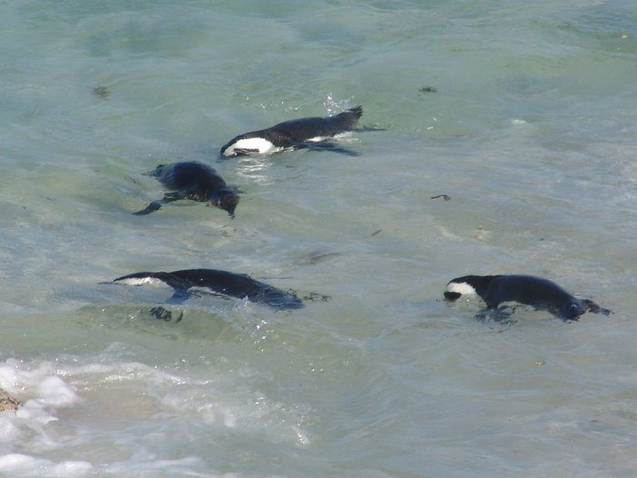 Four African penguins swimming and fishing in the ocean