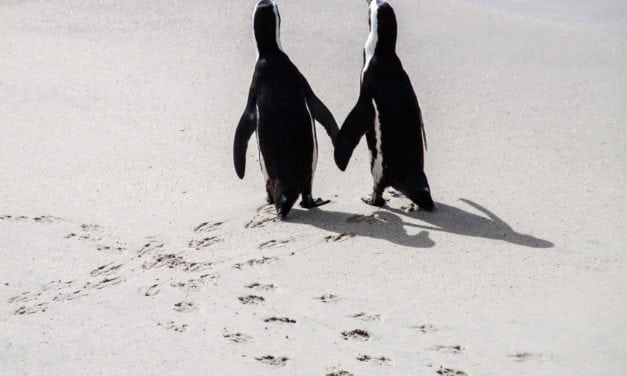 Swimming with the African penguin at Boulders Beach