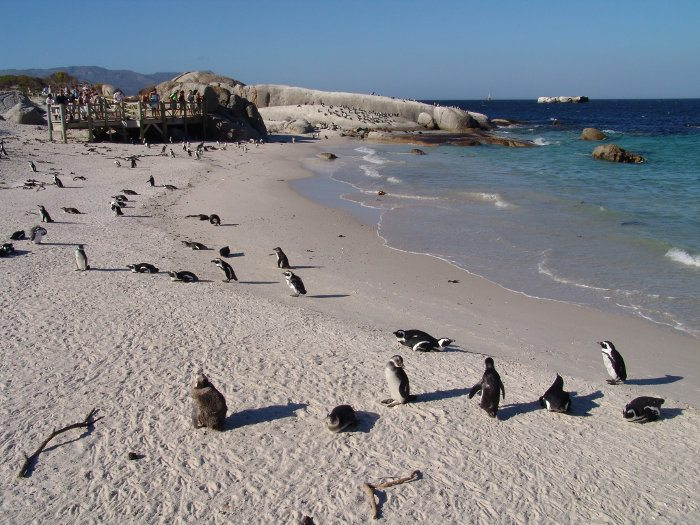 African penguins on the beach and panoramic boardwalk in the background