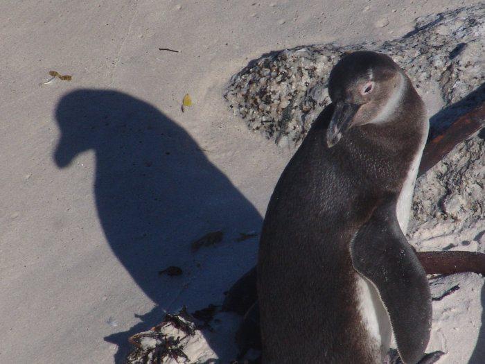 Subadult African penguin in the sun