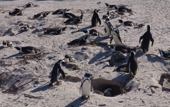 Boulders penguins nesting in the dunes