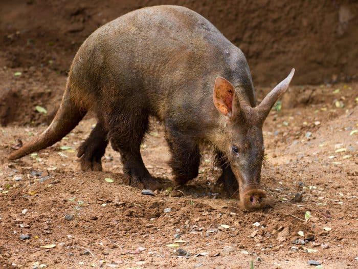 "The aardvark is a very unusual ""Earth pig"""