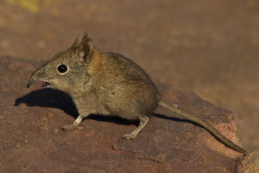 The elephant shrew has one of the most prominent noses in the animal kingdom