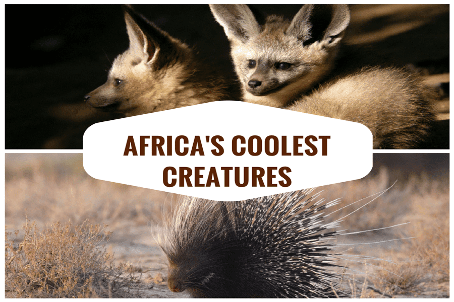 The coolest-looking creatures of the African bush