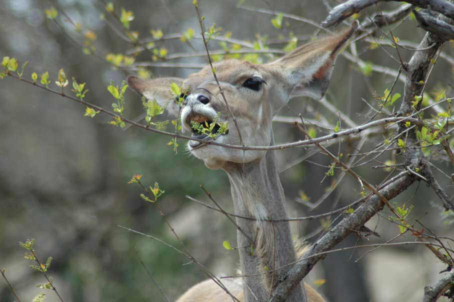 Female greater kudu browsing for young shoots