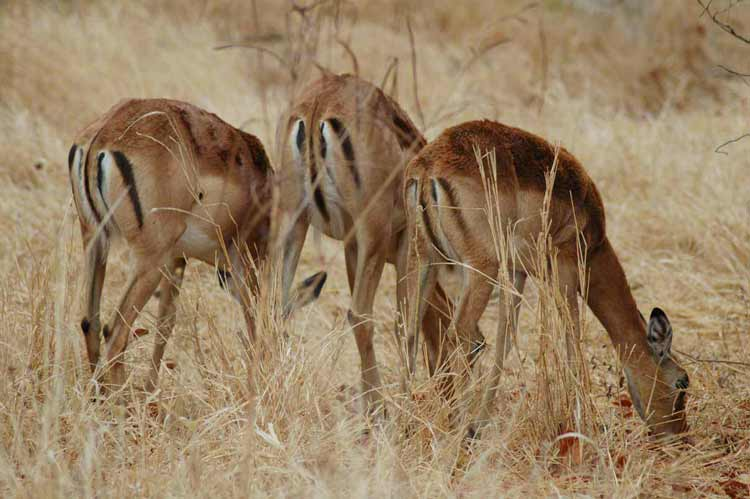 Now you know why impalas are sometimes referred to as the McDonald's of the bush
