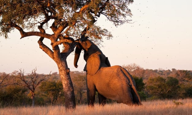 Marula fruit: African alcohol for wild animals, or total myth?