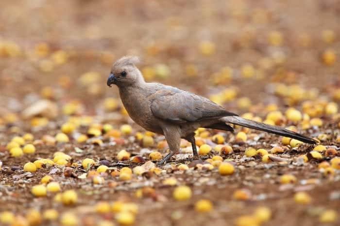 Grey go-away-bird feeding on fallen marula fruits