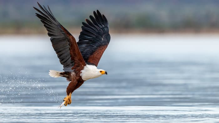 Majestic African fish eagle with prey in its claws