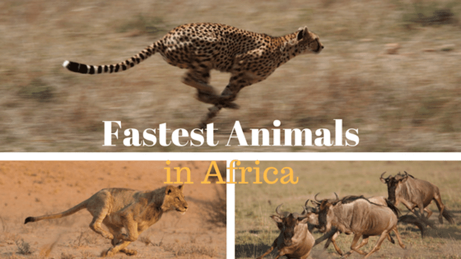 Top 10 fastest animals in Africa