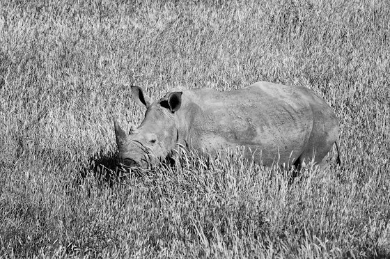 Young black rhino on a breezy afternoon