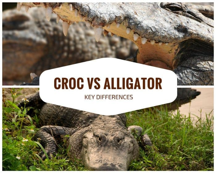 10 key differences between crocodiles and alligators