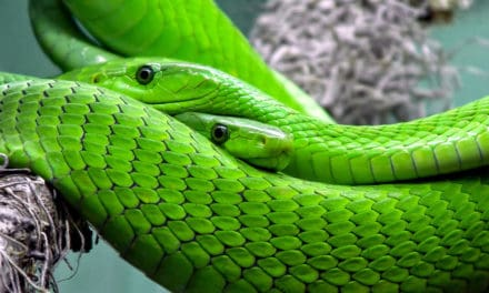 10 most venomous snakes in Africa