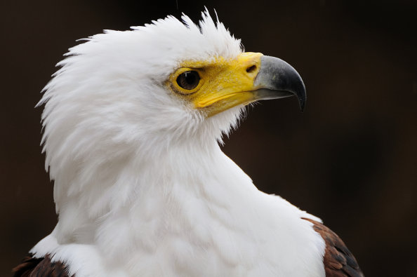 African fish eagle close-up portrait