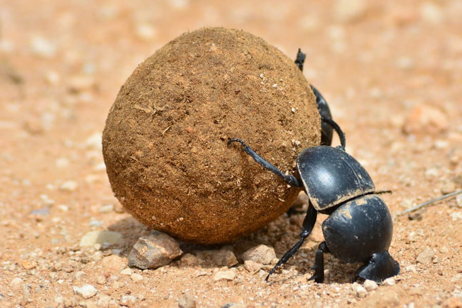 The dung beetle: an outstanding planetary citizen