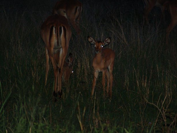 Baby impala and her mom on a night drive safari