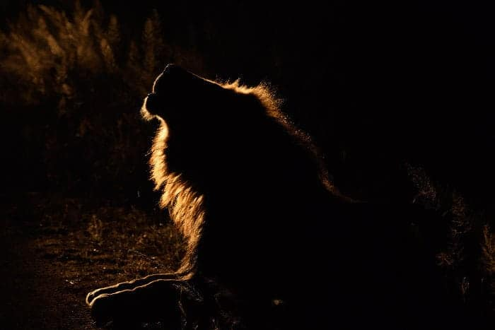 Majestic lion silhouette calling in the night