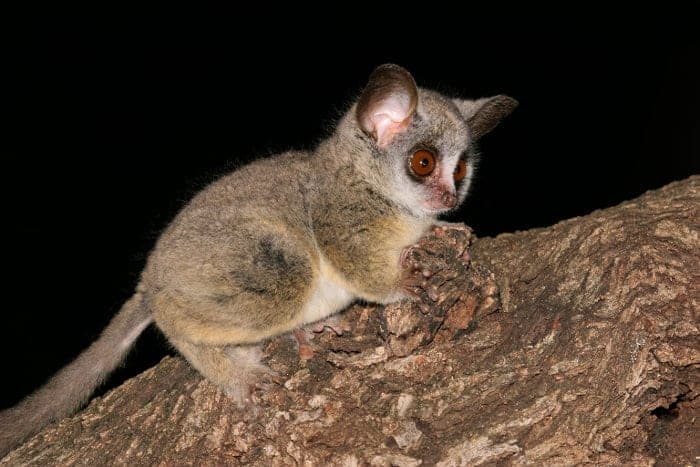 Lesser bushbaby in a tree after dark
