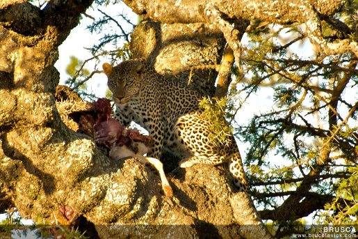 "How to ""spot"" leopards of the Serengeti"