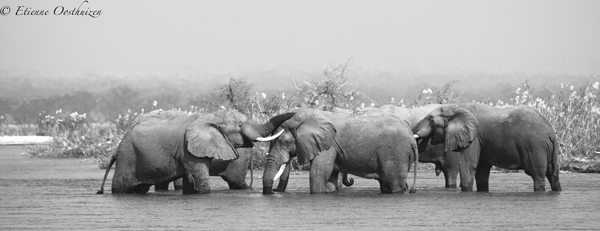 Zambezi elephants: the crossing