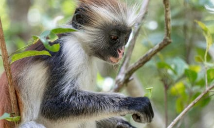 Meet red colobus monkeys in Zanzibar's Jozani forest
