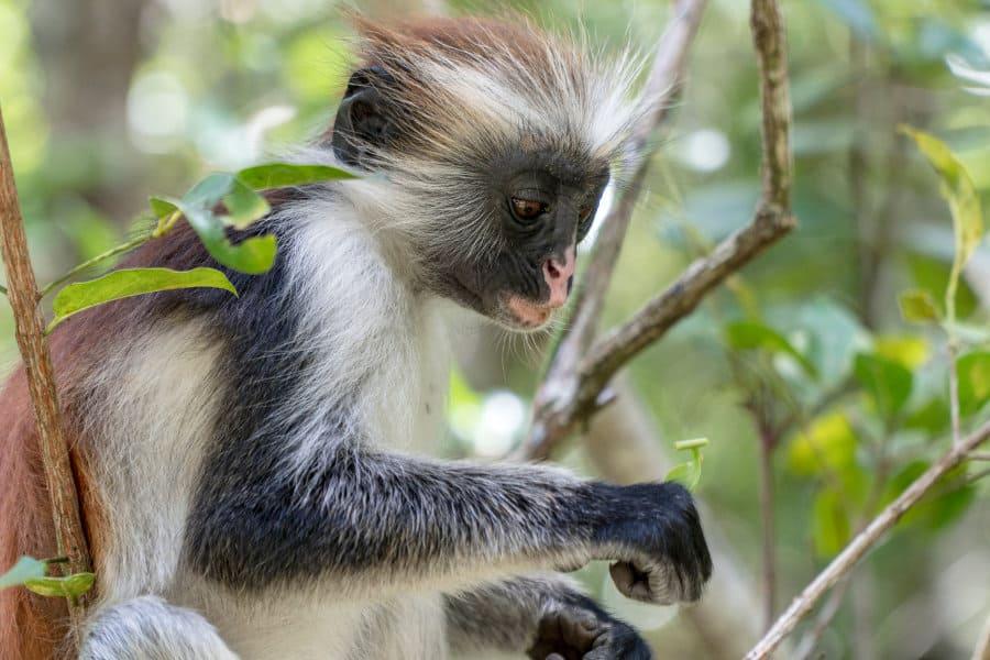 Meet red colobus monkeys in Zanzibar's Jozani forest