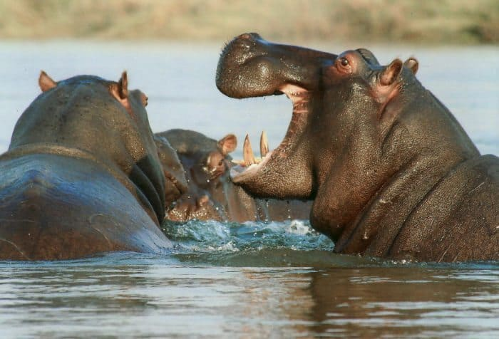 Hippos grunt, groan, growl, roar and make loud wheezing sounds