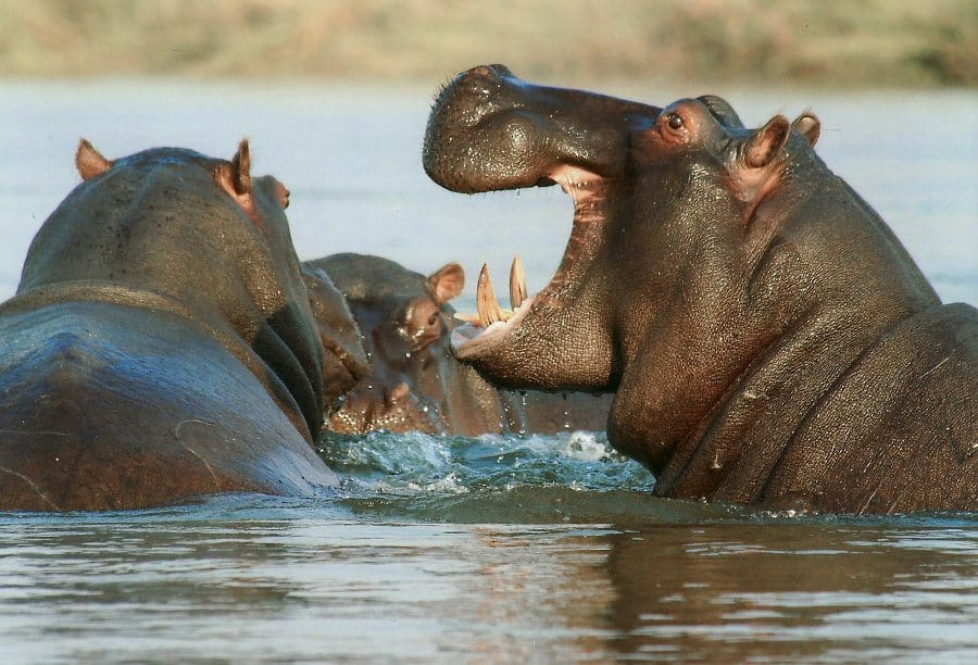 What Does a Hippo Sound Like? Free Hippo Sound Effect Included