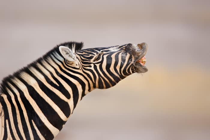 Zebra making sounds with open lips and mouth on display, revealing its teeth