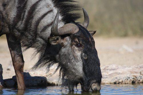 Blue wildebeest ugly 5