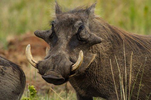 warthog ugly 5