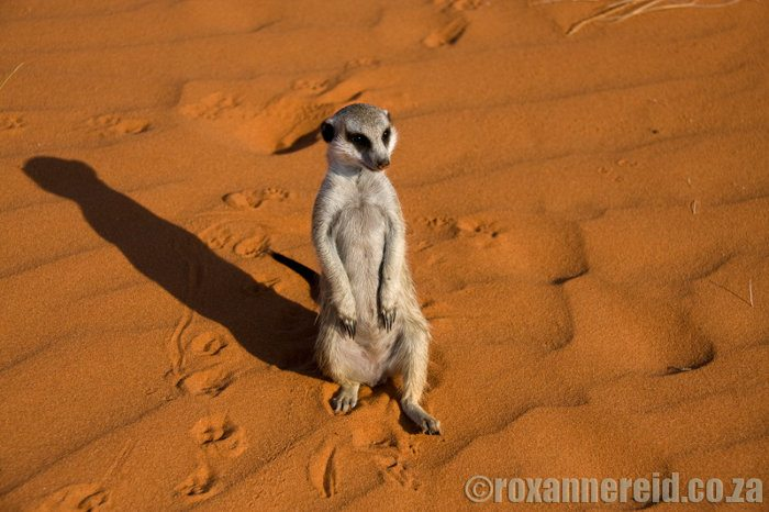 Exploring the Kalahari dunes with Fizzle the meerkat