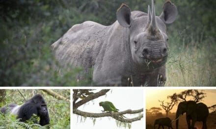 4 African animals that are bouncing back