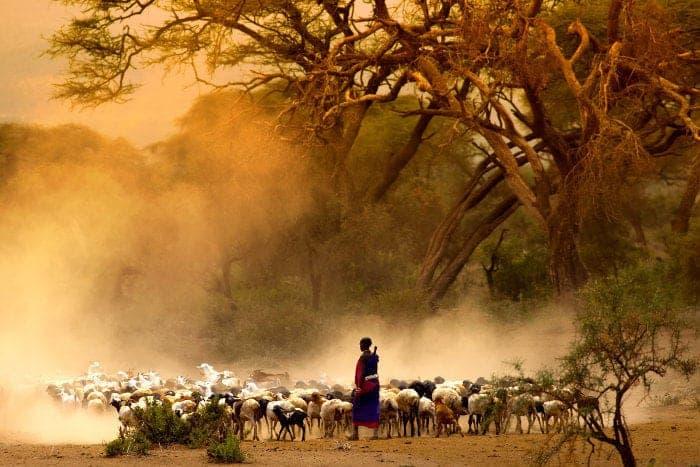 Masai shepherd leading goats in a cloud of dust