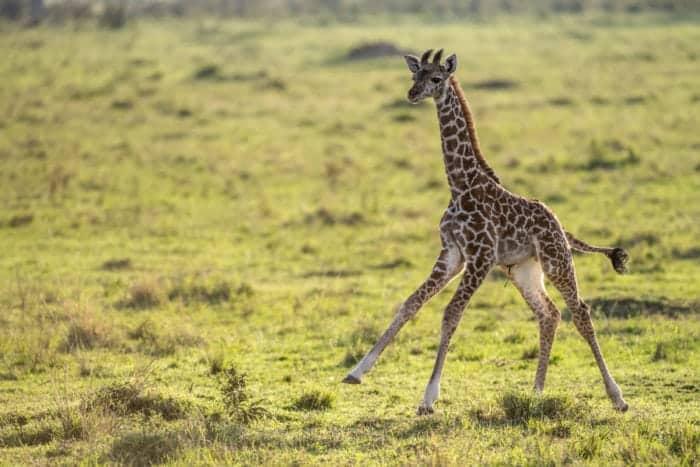 Baby giraffe running in the Masai Mara, Kenya