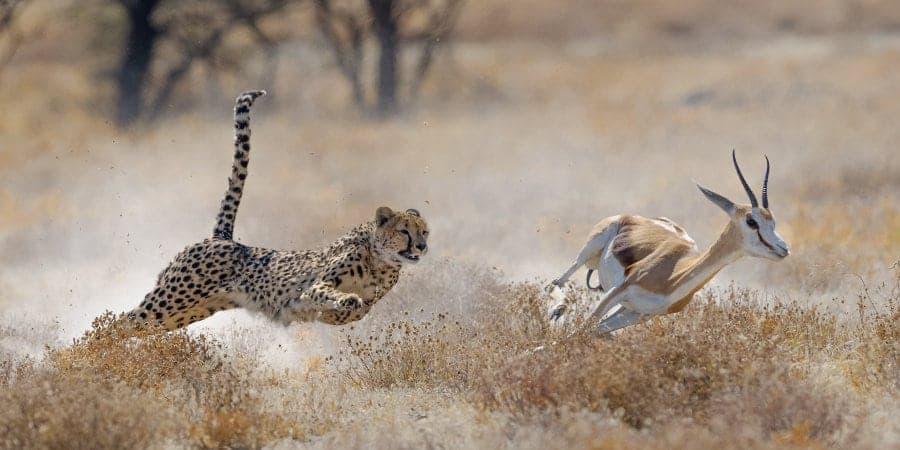 How fast does a cheetah run?