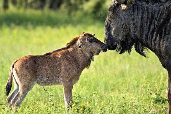 Tender moment between baby wildebeest and its mom