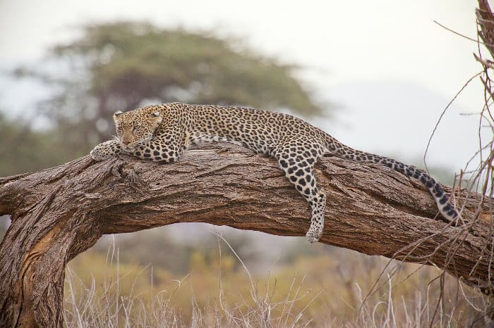Stunning leopard resting on a fallen tree