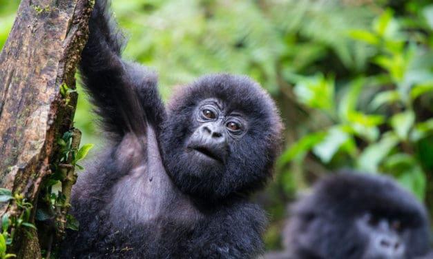 Gorilla trekking in Rwanda: how to and top tips