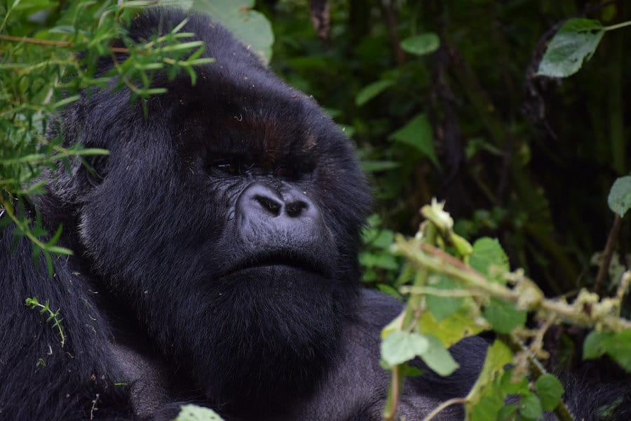 Interesting mountain gorilla facts to learn about