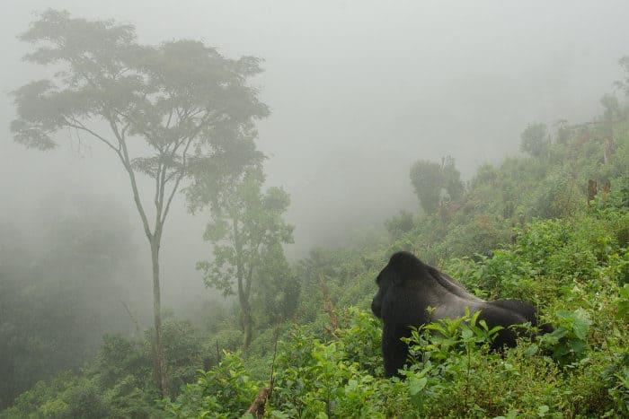 Silverback mountain gorilla in the mist