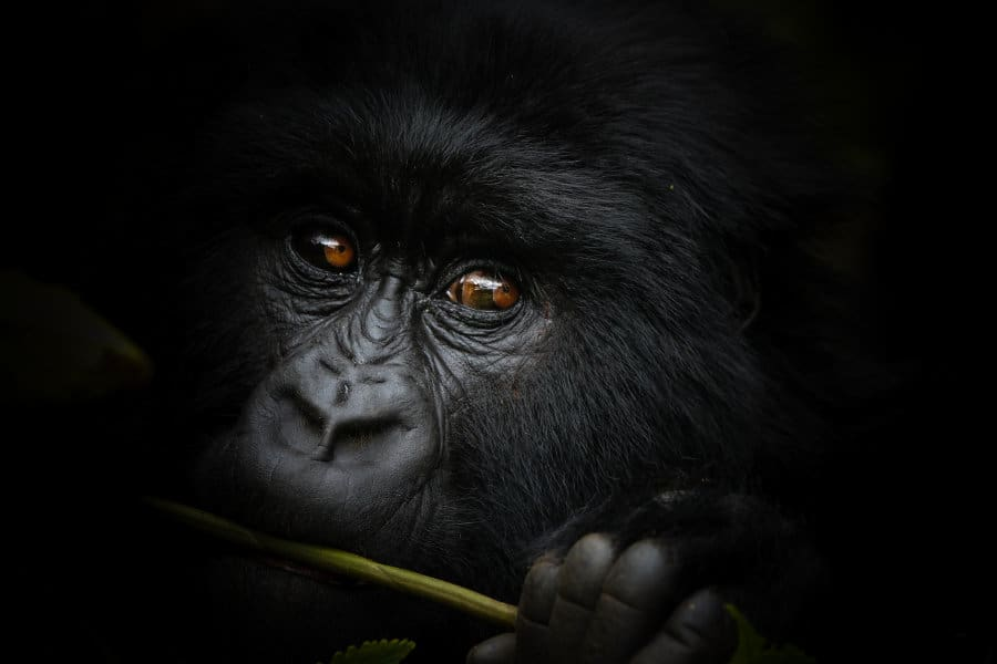 Mountain gorilla trekking: ultimate how to guide