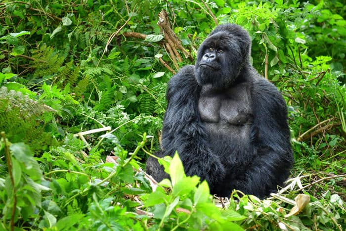 Large silverback mountain gorilla in the rainforest, Rwanda
