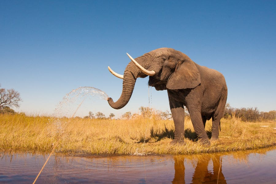What sound does an elephant make?