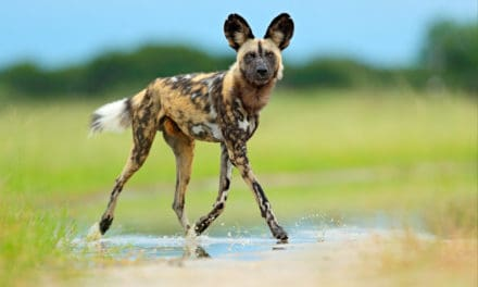 Why is the African wild dog endangered?